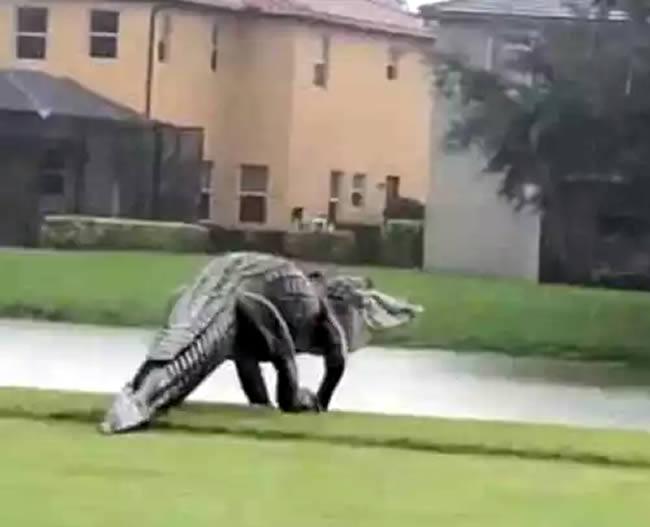 caimán gigante florida huracán