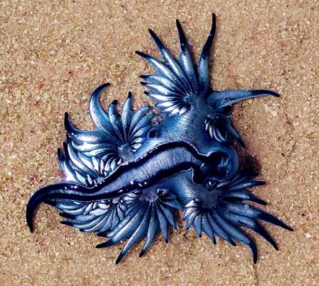 dragon azul playa glaucus atlanticus