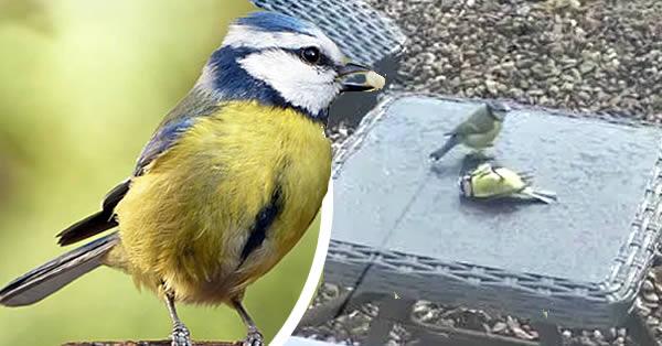 herrerillo azul revive otro pájaro
