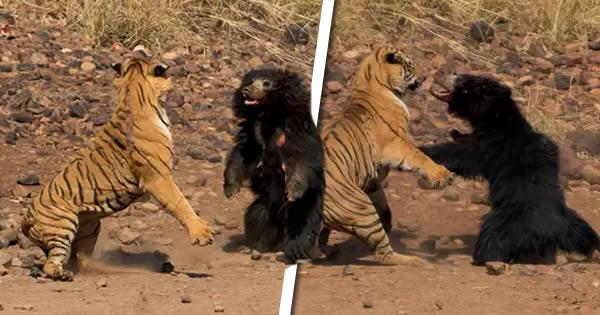 tigre de bengala vs oso perezoso