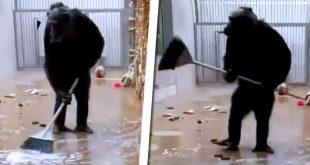 chimpance escoba mico