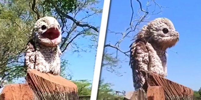 VIDEO: Conoce al urutaú, o pájaro fantasma, su grito se asemeja al lamento humano